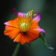 theantidote:    Friday's Fantasy Flower (by AnyMotion)  Rockrose
