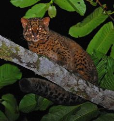 A secret photo shoot deep in the forests of Malaysian Borneo is helping researchers determine just how many marbled cats — rare, tree-climbing felines — live in the region, according to a new study. Small Wild Cats, Big Cats, Wild Cat Species, Endangered Species, Cat Climbing Tree, Sand Cat, Secret Photo, Extinct Animals, Tropical Forest