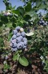 Blueberry 'Sunshine Blue' - planted 3 oct purchased from loews. Growing Blueberries, Growing Grapes, Blueberry Varieties, Premarital Counseling, Blue Plants, Bloom Where You Are Planted, Holiday Parties, Florida, Backyard