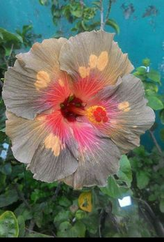 Name/origin unknown. Beautiful Flowers, Flower Pots, Flowers, Wonderful Flowers, Gumamela, Hibiscus Rosa Sinensis, Hibiscus Flowers, Hibiscus, Tropical Flowers