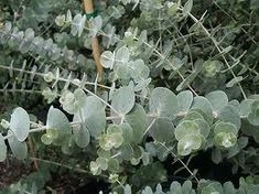 Characterized by small, delicate leaves, baby blue eucalyptus greenery is a popular choice for DIY brides searching for versatile foliage. Australian Native Garden, Australian Native Flowers, Australian Plants, Eucalyptus Cinerea, Eucalyptus Leaves, Eucalyptus Essential Oil, Cream Flowers, Cut Flowers, Drought Tolerant Plants