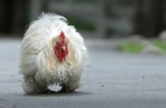 Battered special needs rooster will steal your. Fluffy Chicken, Road Runner, Quail, Pheasant, Rooster, Turkey, Peru, Common Pheasant, Quails