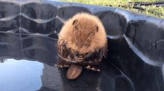 And how he rubs his tiny fuzzy head.   This Baby Beaver Who Can�t Even Control His Own Tail Is What We Need Right Now