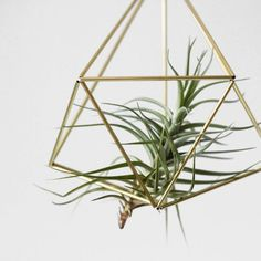 """Ideas for Displaying Tillandsia - inside a gold """"straw"""" hanging contraption - don't need soil or water (spray as needed)"""