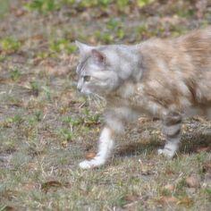 Luna walking... 1/3    #luna #cat #cats #pet #petstagram #nature #kitten #kittens #catstagram #cutie #pets #kitty #catlovers #catsofinstagram #animal #sweet #funpetlove #catlover #ilovemycat #ilovemypet #instapets #petsagram #picpets #instacat #love #music #faces #coffee