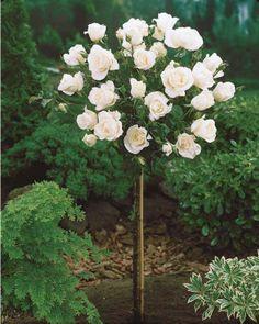 UCD all star . Rose 'Korbin' x white in Spring, Summer + Fall Rose Garden Design, Cottage Garden Design, Beautiful Rose Flowers, Beautiful Gardens, White Roses, White Flowers, Planter Rosier, Standard Roses, Garden Front Of House