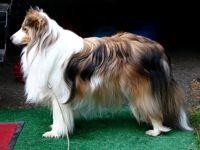 Shetland Sheepdog                                                   National Rescue Groups