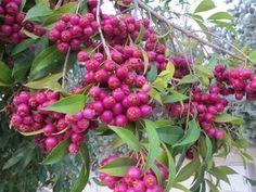 Jambo Cereja ou Mirtilo Vermelho ou Magenta ou Lily Pilly Cherry