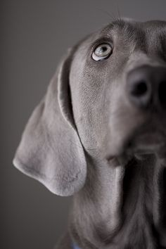 Weimaraner#Repin By:Pinterest++ for iPad#