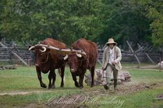 Red Devon Oxen hauling a log at Great Hopes Plantation