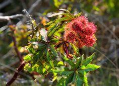 10 Plants Never to Grow in Your Yard - Castor Bean Outdoor Landscaping, Outdoor Gardens, Landscaping Plants, Castor Bean Plant, Water Hemlock, Deadly Plants, Landscape Design, Garden Design, Australian Plants