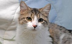 Meet DRAGON FLY AKA BABY, a Petfinder adoptable Domestic Medium Hair Cat | Kingsland, GA | This handsome boy is  a love bug that enjoys his cuddle time and having a good brushing.  Dragon...