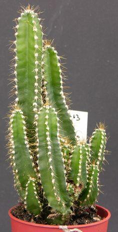 Cereus tetragonus cv 'Fairy Castle' [2006-013]