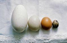 jajka kurze, gęsie, kacze i przepiórcze
