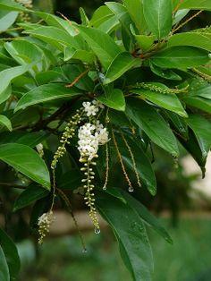 Flowering Fiddlewood Tree