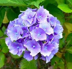 How to plant hydrangea cuttings. Hydrangea flowers are very beautiful and easy to care for, and they require little attention to remain pretty and healthy. Hortensia Hydrangea, Hydrangea Care, Hydrangea Flower, Cactus Plants, Garden Plants, Purple Flowers, Beautiful Flowers, Comment Planter, Garden Yard Ideas
