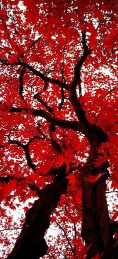 leaves of scarlet...