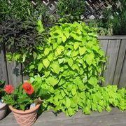 How to Grow A Potato Vine Plant | eHow
