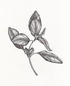 botonical drawing-Meghan Byrnes