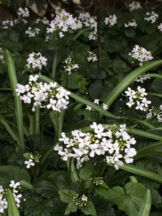 Pachyphragma macrophylla (caucasian pennycress) is an evergreen herbaceous perennial with masses of white flowers in the spring. It makes good ground cover in a shaded location and woodland garden. Here it is in the shade of a wall and the evergreen shrub Fatsia japonica (false castor oil).