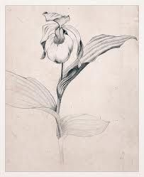 botanist drawing lady slipper - Google Search