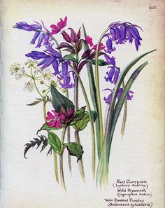 Red Campion and Wild Hyacinth, May 1906, by Artist/Naturalist Edith Holden (1871-1920)