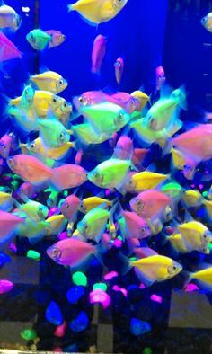 Artificial vs. Natural beauty... Becoming a common sight in pet stores - Glo-fish. The fish were genetically altered with a protein gene originally injected from jellyfish to make them fluorescent in an aquarium fitted with black light. Welcome to the future.