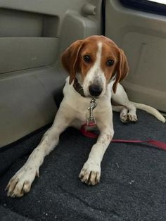 Check out Layla Iv's profile on AllPaws.com and help her get adopted! Layla Iv is an adorable Dog that needs a new home. https://www.allpaws.com/adopt-a-dog/beagle/3892508?social_ref=pinterest