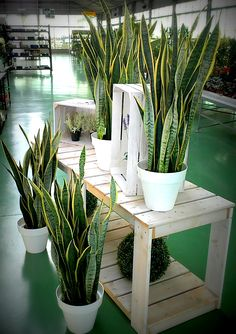 SANSEVIERA TRIFASCIATA LAURENTI  Planta de interior fuerte y elegante. Necesita poco riego y poca luz.