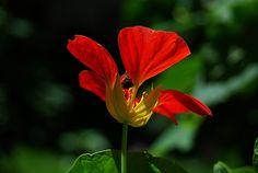 nasturtium flowers | Nasturtium Flowers - Pictures & Meanings of the Nasturtium Flower