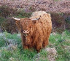 Highland Cow Mid-Munch by Derbyshire Harrier, via Flickr
