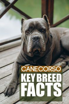 Cane Corso are an amazing breed and learning about them is crucial before bringing one into your home. Today you can learn some amazing facts about this breed. Best Guard Dog Breeds, Best Guard Dogs, Giant Dog Breeds, Giant Dogs, Large Dog Breeds, Cane Corso Dog Breed, Mastiff Dog Breeds, Massive Dogs, Best Dogs For Families