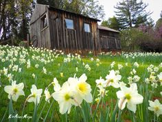 Daffodil Hill. Find