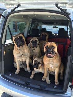 LaGratitude Bullmastiffs — The LaGratitude clan going on an outing…. Bull Mastiff Dogs, Mastiff Breeds, English Mastiff Puppies, English Mastiffs, Giant Dog Breeds, Giant Dogs, Large Dog Breeds, Huge Dogs, Dogue De Bordeaux