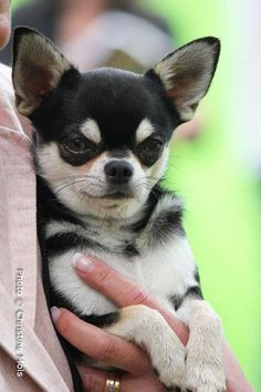 "Chihuahua ""Max"""