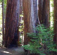 Image result for Big Sur redwoods