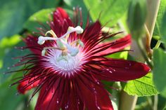 """Red Passion-Flower Hybrid """"Lady Margaret"""" – Passiflora coccinea x incarnata...An Exotic Beauty,Hardy to 20F."""