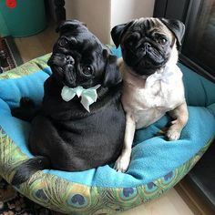 We're already preparing a little bit for the wedding We will bring the rings✌️ --------------------------------------------------------- #pug #puglife #pugsplease #petoftheday #pugsofinstagram #instadog #instapug #ilovepugs #instagrampetphotos #crazypugmom #puppyeyes #naturaldogcompany #smilingpugs #puglove #blackpug #ringbearer #ringbearers