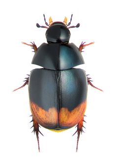 sphaeridium substriatum HYDROPHILIDAE Beetle Insect, Beetle Bug, Insect Art, Cool Bugs, A Bug's Life, Beautiful Bugs, Bugs And Insects, Nature Animals, Butterflies