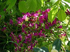 R. Purpurtraum - en smuk rodrodendron.