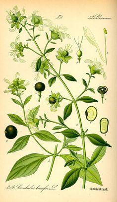 Flora von Deutschland Österreich und der Schweiz (1885) - Cucubalus baccifer