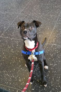 Ralph is a playful 1yo dog & he's adoptable @ our Boston Adoption Center. He's a neutered male, gray and white Pit Bull Terrier mix. He's been with us since January 8, 2013. #dogs #pets #pups #animals