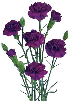 Bulk cut dark purple Mini Carnations for weddings and events! Use as floral accents or filler for flower centerpieces. Premium wholesale purple mini carnation flowers direct from the farm for maximum freshness to you. Carnation Colors, Purple Carnations, Mini Carnations, Dark Purple Flowers, Cut Flowers, Fresh Flowers, Beautiful Flowers, My Flower, Flower Power
