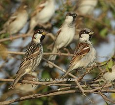 Spanish sparrow (Passer hispaniolensis) - Google Search