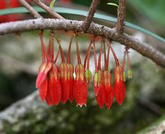Agapetes serpens | Flickr - Photo Sharing!