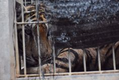 What will become of the big cats of Thailand's 'Tiger Temple'?