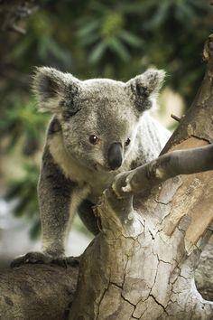 A Marvelous Marsupial by Paul.E.M