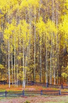 USA, Colorado, Quaking aspens (Populus tremuloides) showing fall color change, near Telluride