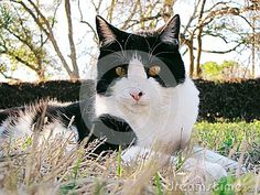 Outdoor, black and white, domestic shorthair cat with yellow eyes lays in the grassy backyard of a South Texas home.