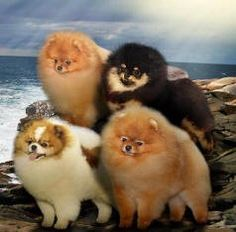 a family of teddy bear pomeranians. i need them.